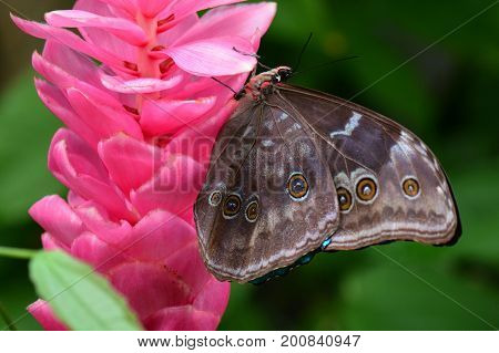 A pretty pink flower bloom attracts a morpho butterfly to its nectar.