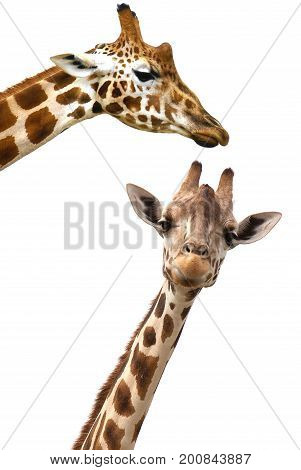Giraffe heads isolated on white background vertical image