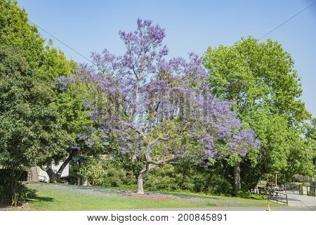 Beautiful Jacaranda Trees Blossom