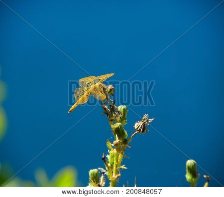 Yellow dragonfly, showing a side profile, setting atop a flowering plant.