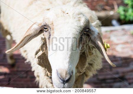 Closeup Face Sheep Looking At Camera