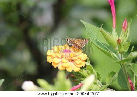 Little moth-like butterfly is sitting on orange flower