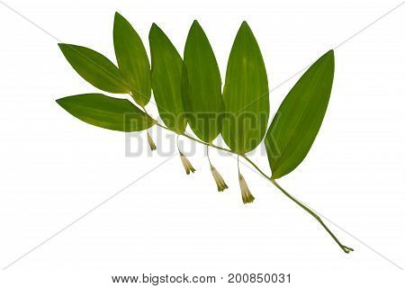Pressed and dried flowers polygonatum odoratum or Solomon's seal isolated on white background. For use in scrapbooking floristry (oshibana) or herbarium.