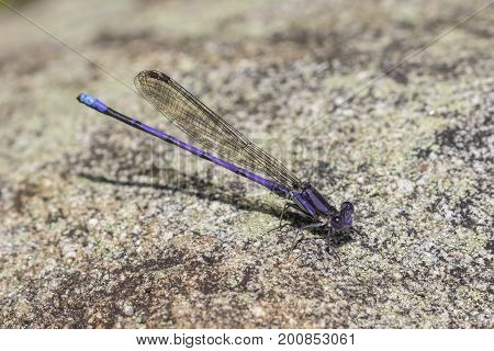 Male Variable Dancer Damselfly - Ontario, Canada