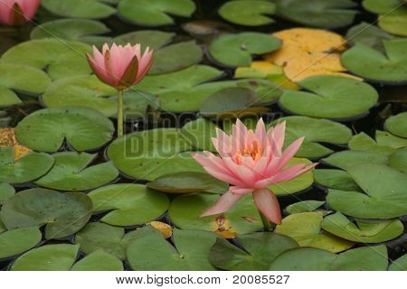 Pink Water Lillies and Lilly Pads