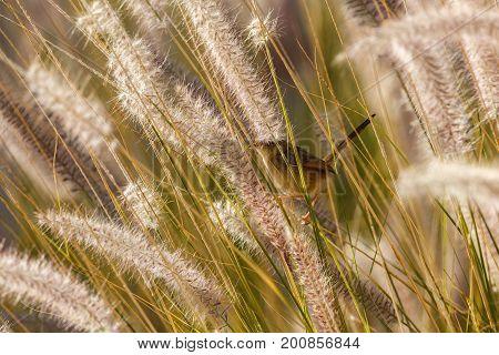 Small Sian Desert Warbler In A Grass