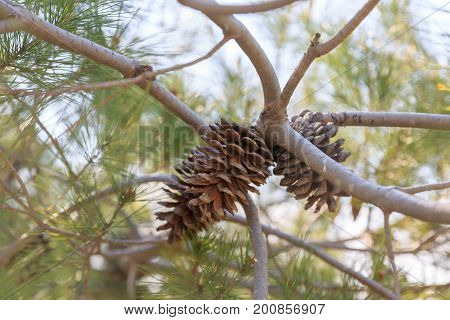 Dry Pinecone Of Evergreen Mediterranean Pine