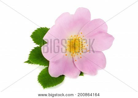 Rosehip flower with leaf isolated on white background.
