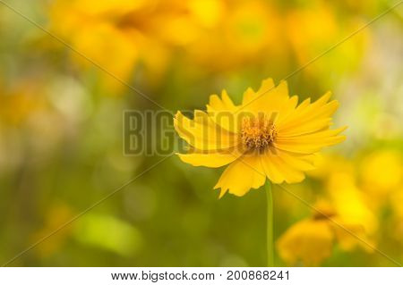Yellow delicate cosmos flower on a beautiful background. Soft focus