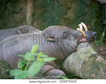 Sulawesi babirusa Babyrousa celebensis . Wild life animal In the zoo