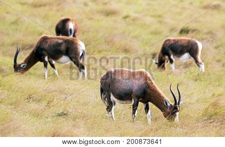 Four Blesbok Feeding On Dy Windy Winter Grassland