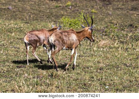 Two Blesbok Walking On Dry Winter Grassland  Landscape