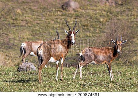Three Alert Blesbok Standing On Dry Winter Grassland  Landscape