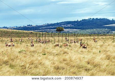 Herd Of Blesbok Feeding On Dry Winter Grassland Landscape