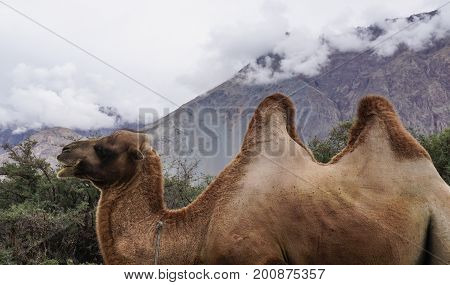 Rare Two-humped Camels In Nubra Valley, India