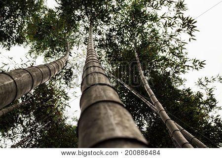 View up a bamboo tree trunk in a Japanese forest