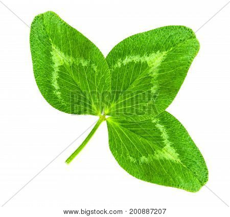 St. Patrick's Day symbol. Lucky shamrock clover green heart-shaped leaves isolated on white background in 1:1 macro lens shot
