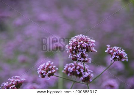 Mass of verbena bonariensis flowers, Eden project, Cornwall, uk