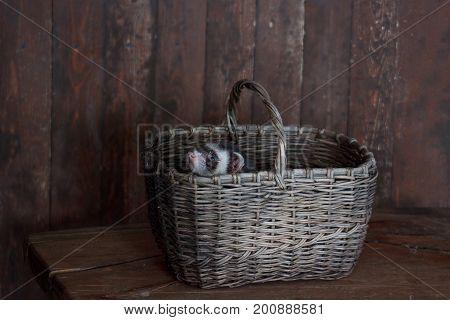 The pretty ferret is sitting in a wicker basket. Pet animals.
