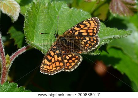 Heath fritillary butterfly resting on a leaf in the sun, cornwall, uk