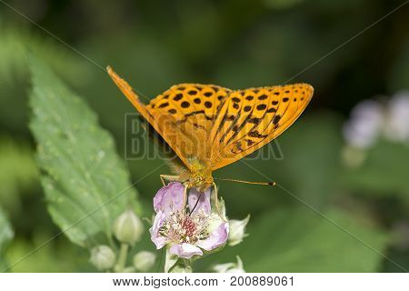 Silver washed fritillary feeding on bramble flowers, cornwall, uk