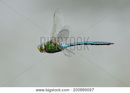 Emperor dragonfly in flight over the water, cornwall, uk
