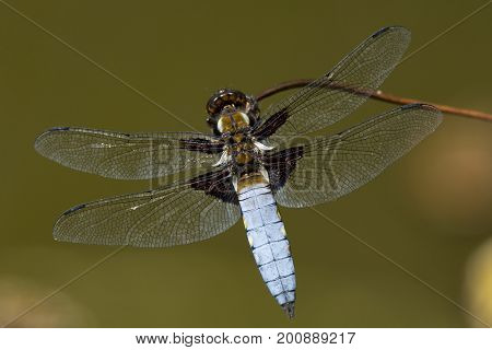 Broad bodied chaser dragonfly sat on dead flower stem by the pond, cornwall, uk