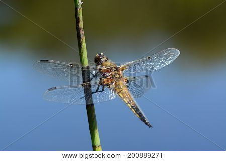 Four spot chaser dragonfly on reed by the water, cornwall, uk