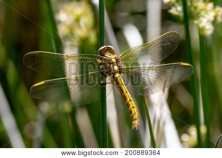 Keeled Skimmer dragonfly in reeds, Cornwall ,UK