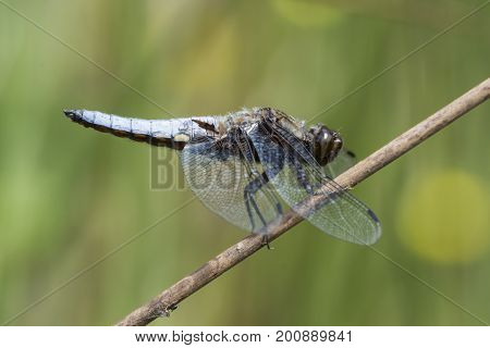 Broad bodied chaser dragonfly (male) resting on reed stem