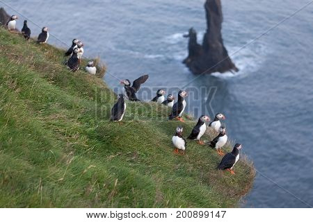Puffin Family Group On The Cliff In Vic, Southern Iceland. Birdwatching Of Puffins In Iceland During