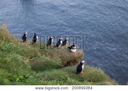 Puffin Family On The Cliff In Vic, Southern Iceland. Birdwatching Of Puffins In Iceland During Summe