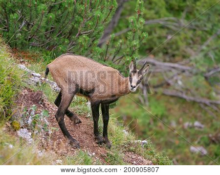 Alpine Chamois (Rupicapra Rupicapra) in the pine forest (Pinus mugo)