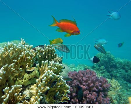 Red Coral Perch (male)