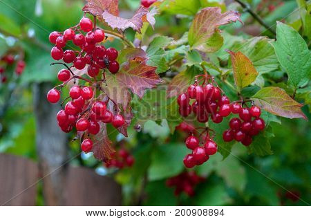 Bunch of red rowan in autumn surrounded by green leaves