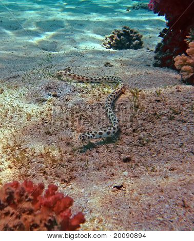 Spotted snake eel at the Red Sea coral reef poster