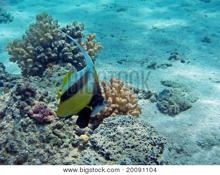 Red Sea Banner Fish