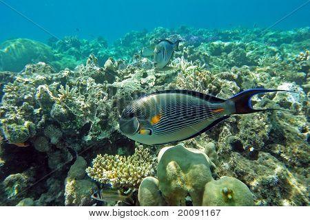 Sohal surgeon fish