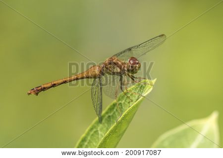Female Autumn Meadowhawk Dragonfly - Ontario, Canada