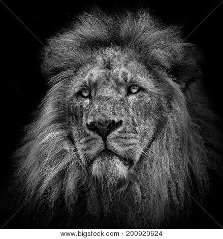 lion portrait in black/white