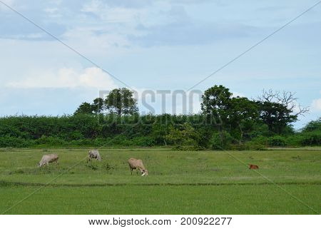 cow and calf feeding grass on field in Thailand countryside