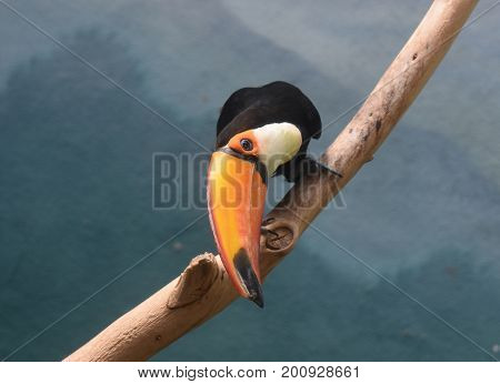 Toucan bird leaning down from a thick vine.