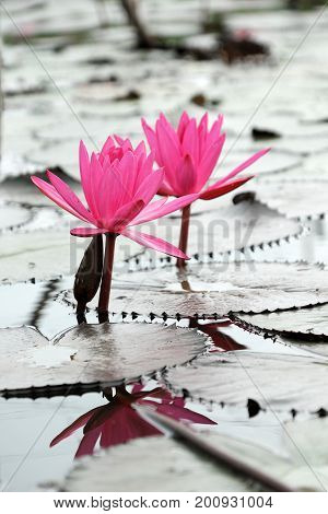 Water Lily On Waterlily Pond