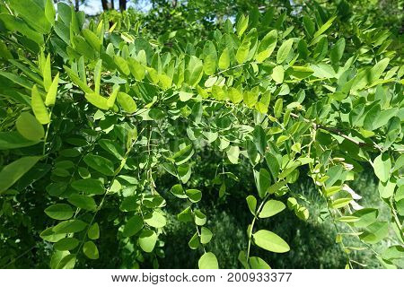 Bright Green Compound Leaves Of Robinia Pseudoacacia