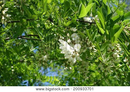 Drooping Raceme Of White Flowers Of False Acacia