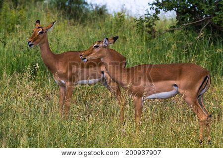 Small herd of antilopes. Tarangire, Tanzania, Africa
