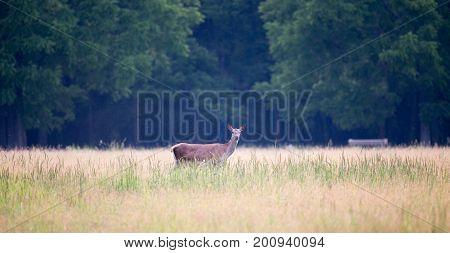 Hind Walking On Meadow