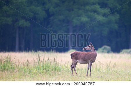 Hind Standing On Meadow