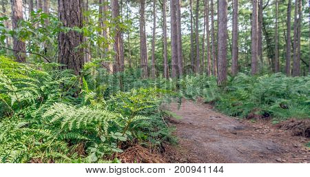 Sandy path in a Dutch forest with tall scots pine trees and green fern plants on a nice day in the summer season.