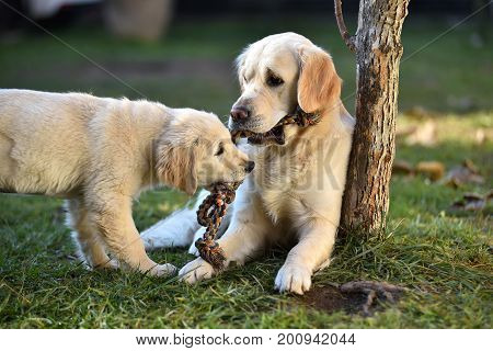 Two Golden Retriever Dogs Playing On Grass